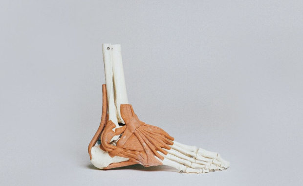 synthetic model foot for anatomy and physiology online course