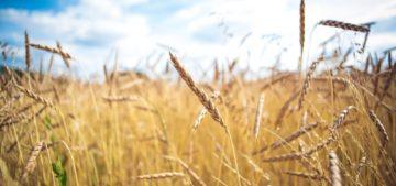 wheat field for environmental studies major