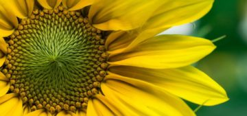 environmental microbiology shown on a sunflower